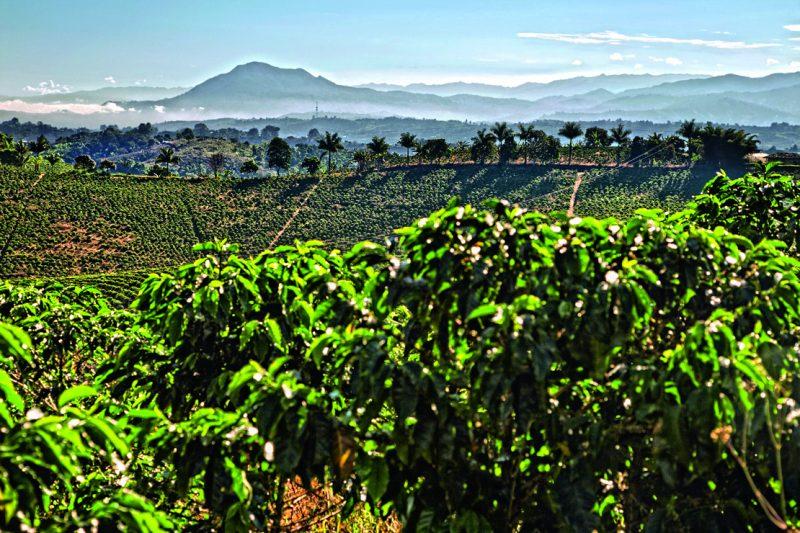 piantagioni di caffè