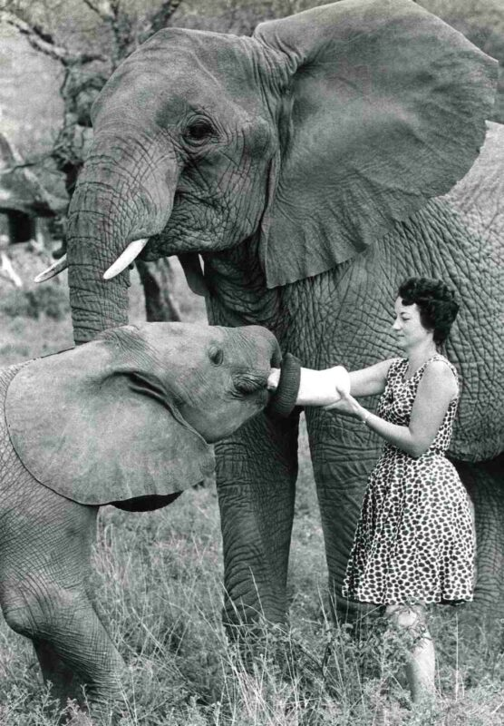 Daphne elefanti